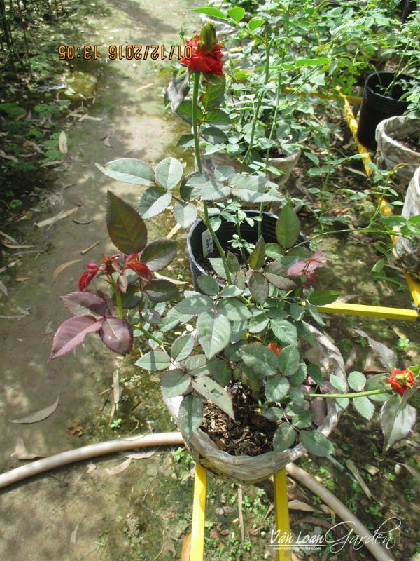 Hồng ngoại Exciting - M Rose tại vườn