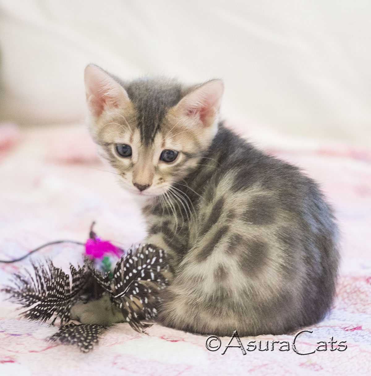 AsuraCats Zecora - Blue spotted female Bengal kitten