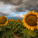 The Sunflower Field by Robin-Wilson