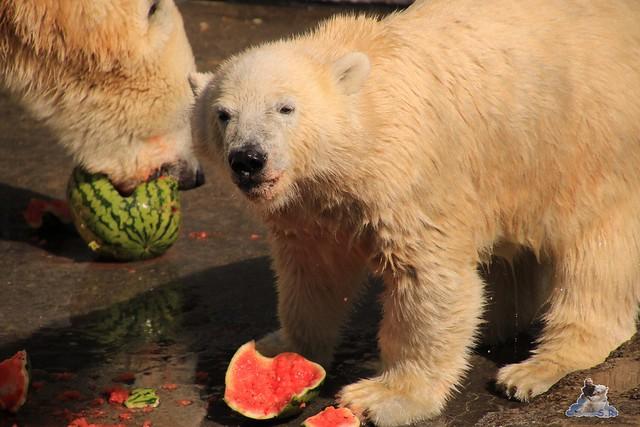 Eisbär Fiete im Zoo Rostock 05.09.2015  0200