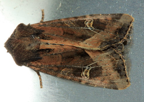 Common Rustic 1850