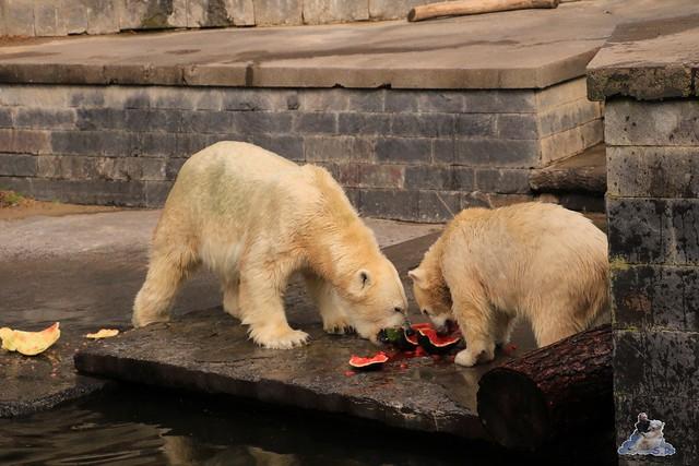 Eisbär Fiete im Zoo Rostock 19.09.2015 Teil 2  096