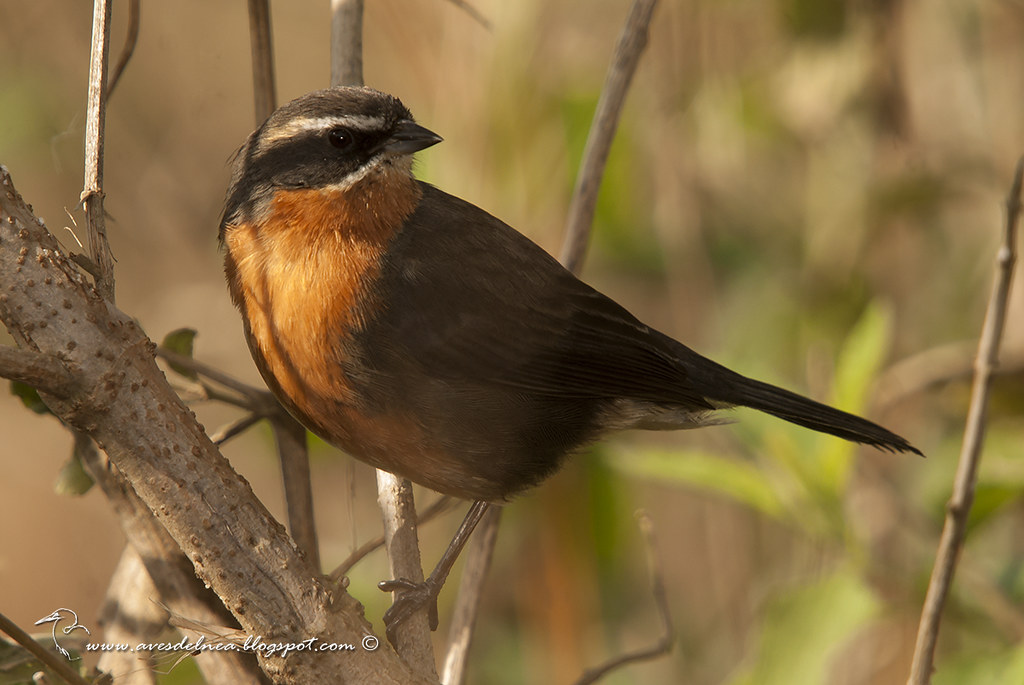 Sietevestidos común (Black-and-Rufous Warbling-Finch) Poospiza nigrorufa