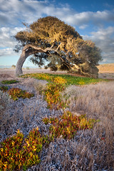 The Bending Oak at Fort Ord - Seaside, CA
