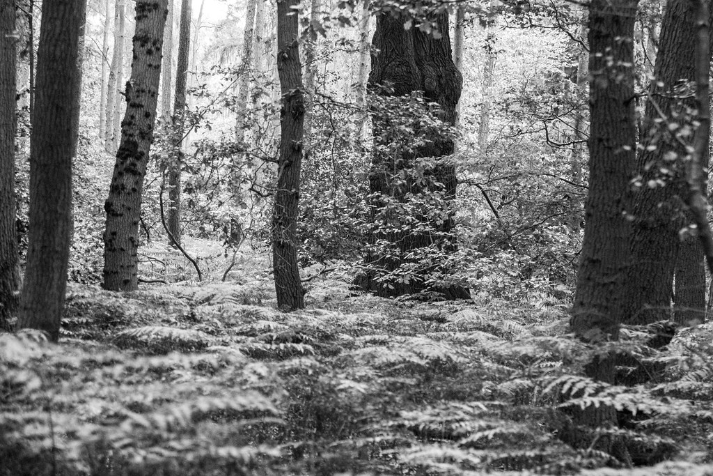 B&W shot of Burnham Beeches