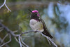 Anna's Hummingbird, male, adult