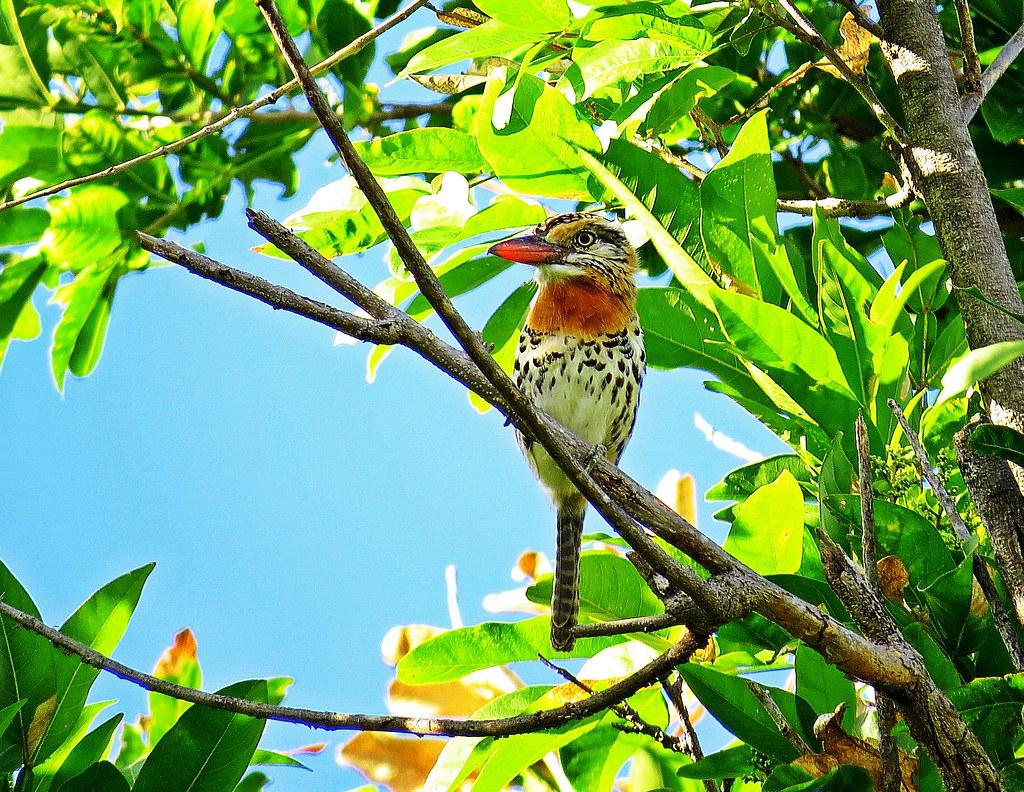 Nyslatus maculatus (Rapazinho-dos-velhos/Spot-backed Puffbird)