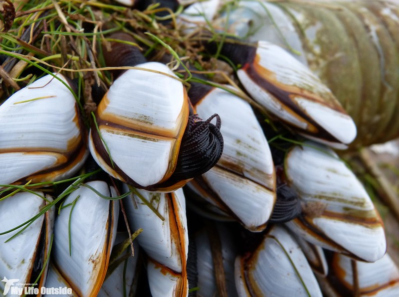 P1160817 - Goose Barnacles, Whiteford