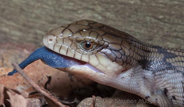 Blue-tongue 1