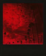 Red Muertos Palms