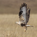 Rough-legged Buzzard (Buteo lagopus) Тарлан сар by obaatargal