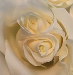 White Twin Rose
