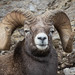 Rocky Mountain Bighorn Sheep by Turk Images