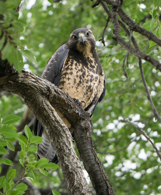 juvenile swainsons hawk 2