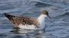Great Shearwater by Matt Scott Wildlife Photography