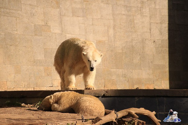 Eisbär Fiete im Zoo Rostock 26.09.2015   0346