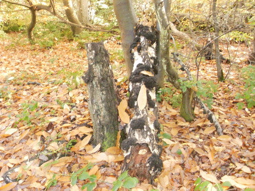 Tree in Banstead Wood