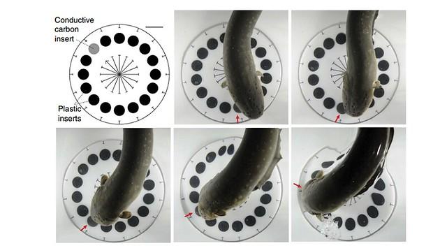 anguilas2