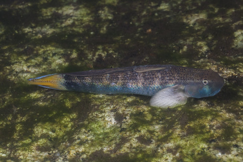 Rabbithead cling goby (Sicyopterus lagocephalus)