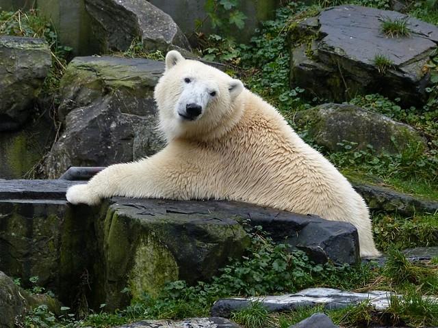 Eisbär Lale, Zoo Emmen