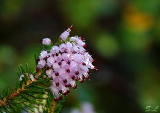 Fleur gorgée de gouttes de rosée