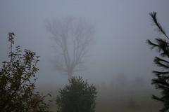 Foggy Autumn Morning, Black Walnut Tree