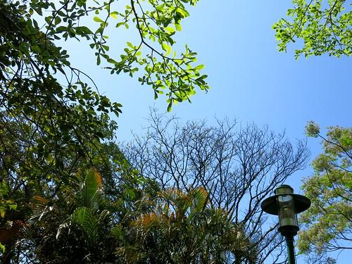 抬頭看春天:雨豆、小葉欖仁、苦楝、黃椰子