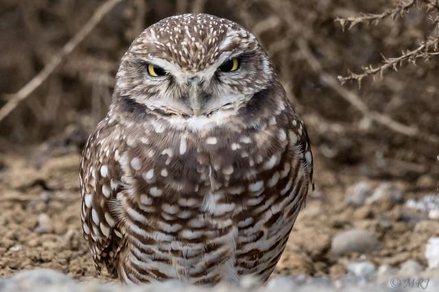 Borrowing Owls Drive Slowly