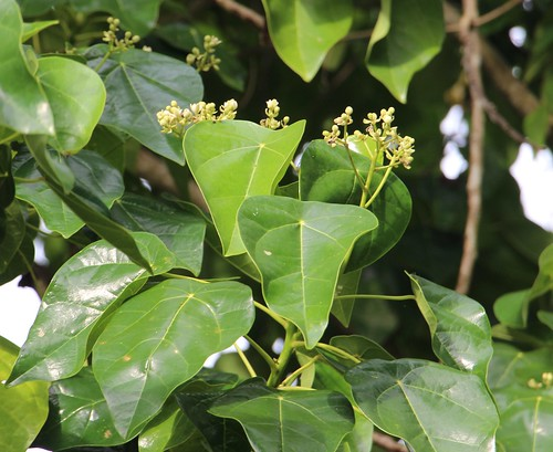 rota hernandia hernandiaceae hernandianymphaeifolia hernandiasonora
