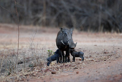 Warthog with Piglets (Phacochoerus aethiopicus), South Luangwa NP, Zambia