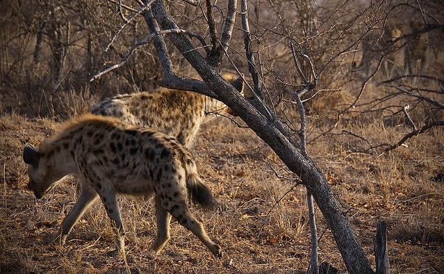 Hyenas being chased by lions