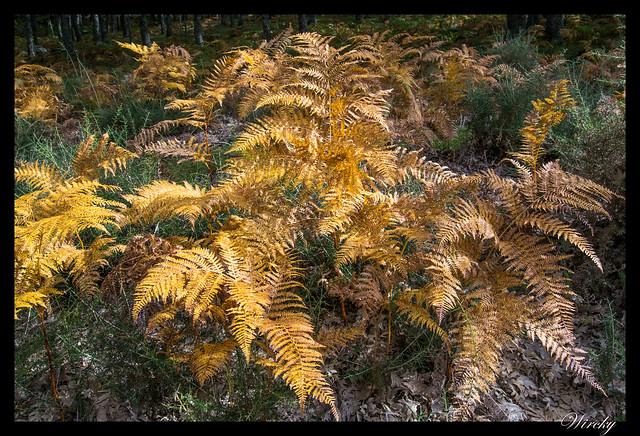 Helechos en otoño