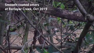 Smooth-coated otters at berlayar creek