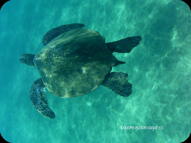 Tortuga_Maui