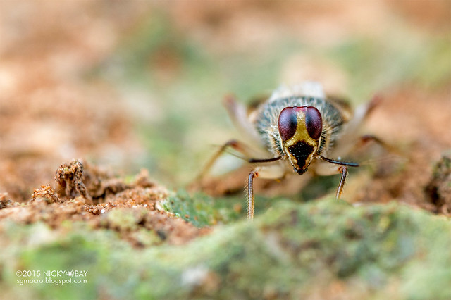 Plant bug (Miridae) - DSC_9206