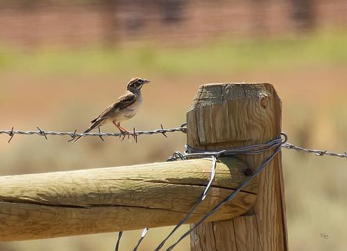 Lark Sparrow Chondestes grammacus _8811