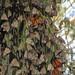 ♚ Papilionoid Royalty ♛ by Viejito