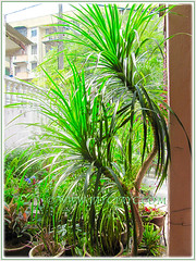 The impressive green variety of Dracaena marginata (Madagascar Dragon Tree) in our garden, Aug 10 2015
