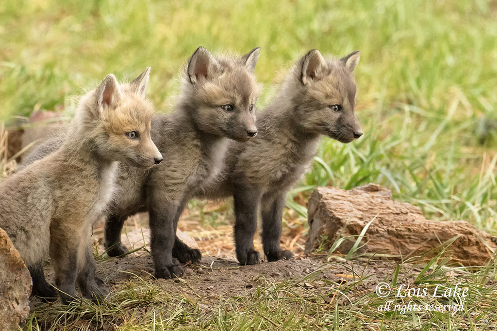 Three Red Fox Kits