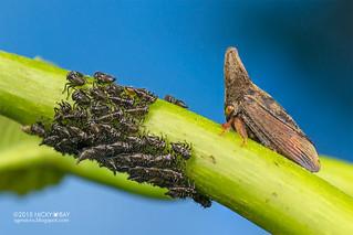 Treehopper (Calloconophora sp.) - DSC_8697