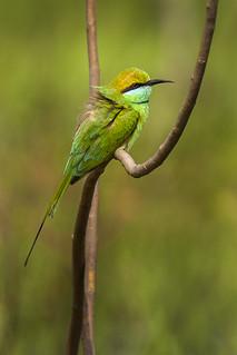 Green Bee-eater - Bandavhgarh_9755