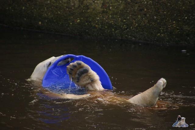 Eisbär Fiete im Zoo Rostock  0190