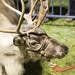 Reindeer Ian (39)