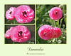Ranunculus by judy4652