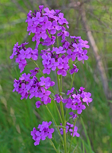 flower mo rocket wildflower brassicaceae 2015 hesperismatronalis damesrocket hesperis rosids sweetrocket brassicales mcdonaldco starhollowroad