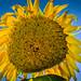 sunflower-1 by starrienight