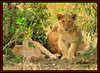 YOUNG CUB WITH LIONESS (Panthera leo)  ......MASAI MARA......SEPT 2014 by M Z Malik