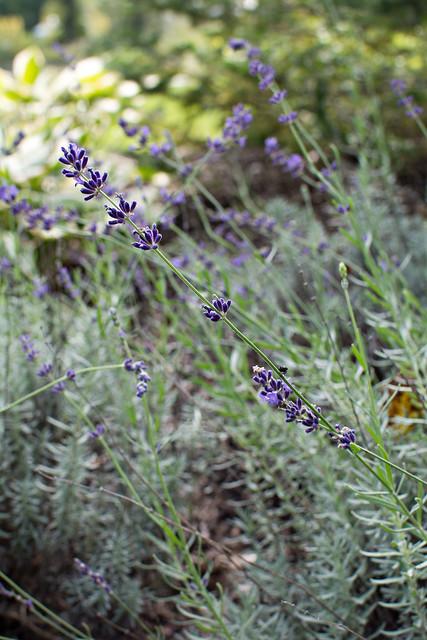 lavender wellfield 092015