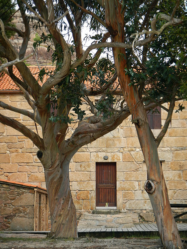 An eucalyptus in front of a building of golden stones in a town on the west coast of Galicia, Spain