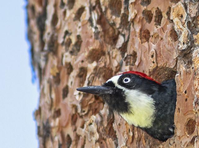 Acorn Woodpecker 7d1_2507